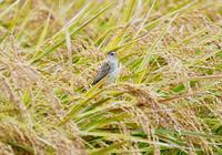 黄金セッカ - 可愛い野鳥たち 2