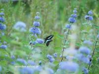段菊とアオスジアゲハ@高知県立牧野植物園 - アリスのトリップ