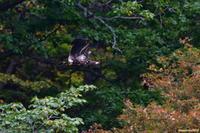 紅葉の始まりに・・・オジロワシ。 - 野鳥のさえずり、山犬のぼやき