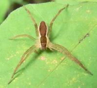 #クモ『筋太走蜘蛛』  Dolomedes saganus - 自然感察 *nature feeling*