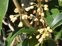 庭の日陰の金木犀 - 家の周りの季節感