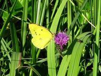 在来種キタキチョウと、外来種アカボシゴマダラ - 花と葉っぱ