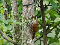 PURA VIDA!コスタリカの森(その23) - 不思議の森の迷い人