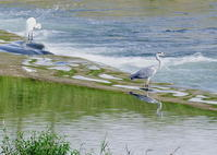 鳥見散歩 - おやぢの絵日記(仮)