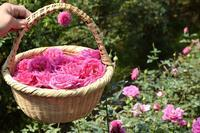 バスツアー「バラ摘みと蒸留・ローズウォーター作り体験!」がありました。 - 元木はるみのバラとハーブのある暮らし・Salon de Roses