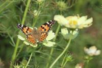 ヒメアカタテハコスモスの花で - 蝶のいる風景blog