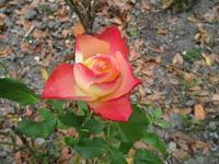 秋の薔薇と夏のバラ - フランス Bons vivants des marais
