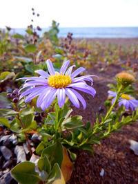 野菊の浜辺・ハマベノギク - Beachcomber's Logbook