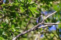 エゾビタキ、オニヤンマ、サガミラン - あだっちゃんの花鳥風月