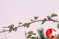シマエナガの撮影 - イチガンの花道