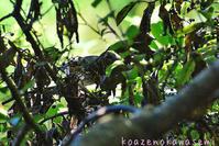 クロツグミ - 気ままな生き物撮り