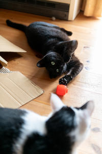 家の中で遊ぶクーちゃん - 猫と夕焼け