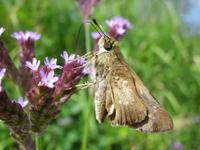 『長良川河川敷の蝶と花達~』 - 自然風の自然風だより
