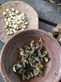 ナンキンハゼの黒い実が・・・「パカッと割れて、白い種がこんにちは!」編 - 納屋Cafe 岡山