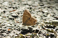 ヒカゲチョウ秋の雑木林で - 蝶のいる風景blog