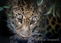 アムールヒョウ:Amur leopard - 動物園の住人たち写真展