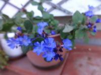 ブルーサファイア - だんご虫の花
