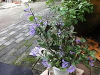 モナ・ラベンダー - だんご虫の花