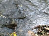 小川に鮭 - nshima.blog