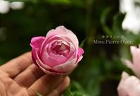 頬を染める薔薇 - カヲリノニワ