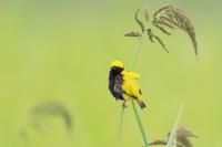 オウゴンチョウ(黄金鳥) Ⅰ 黄金色の田んぼに - 気まぐれ野鳥写真