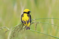 オウゴンチョウ Ⅱ お食事 - 気まぐれ野鳥写真