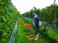 ワイン用ブドウの収穫に行ってきました!! - 乗鞍高原カフェ&バー スプリングバンクの日記②