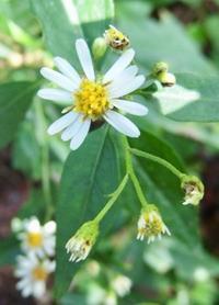 白嫁菜』  Aster ageratoides var. ageratoides - 自然感察 *nature feeling*