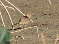 伊佐沼にいたツバメチドリ - コーヒー党の野鳥と自然 パート2