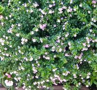 1センチほどの花をたくさんつけます,クフェア・ヒッソピフォリア - 楽餓鬼