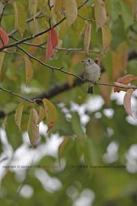 「紅葉と」秋のヒタキ_3兄弟に会いたい - healing-bird