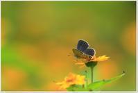 小さな蝶と小さな子猫 - ハチミツの海を渡る風の音