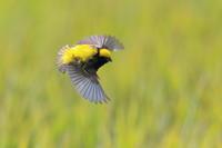 オウゴンチョウ Ⅲ 飛翔 - 気まぐれ野鳥写真