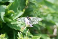 深山のシロチョウ、里山のキチョウin2018.07~10 - ヒメオオの寄り道