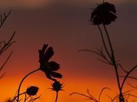 夕焼けコスモス - いつかみたソラ