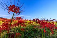 九品寺の彼岸花 - 花景色-K.W.C. PhotoBlog