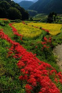 明日香村の彼岸花・細川の集落(後編) - 花景色-K.W.C. PhotoBlog