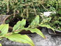 ぼちぼち山野草 - リリ子の一坪ガーデン