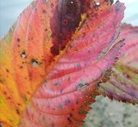 秋色葉っぱ… - 侘助つれづれ