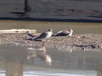 ツルシギとアオアシシギそしてクサシギ - コーヒー党の野鳥と自然 パート2