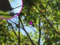 エノキの実で吸汁 - 秩父の蝶