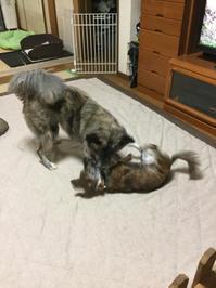 シーズン商法 - 琉球犬mix白トゥラーのピカ