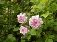 天上の薔薇 - カヲリノニワ