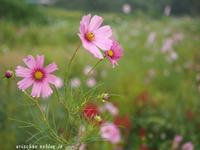 雨の日の秋桜♪ - アリスのトリップ