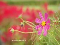 鶏頭の花と秋桜のコラボ~♫ - アリスのトリップ