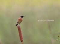 ガマノビ - 鳥待ち写真日記