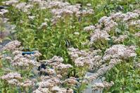 第10回「藤袴と和の花」展梅小路公園「朱雀の庭」;藤袴編 - たんぶーらんの戯言
