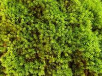 #蘚類『尻尾苔』 Poecilocoris lewisi - 自然感察 *nature feeling*