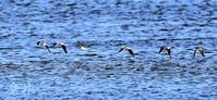 シギの飛翔数分間、水面suresureの飛翔は綺麗でした、珍しいですね皇昇が褒めるには。誠 - 皇 昇