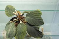 Homalomena sp. - PlantsCade -2nd effort